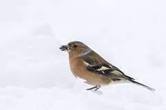 A winters day (Ron Giesbers) Tags: winter snow sigma bird chaffinch food sunflowerseeds white nature grass westcorkhide