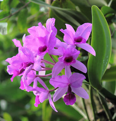 Pink and Purple (WinRuWorld) Tags: orchid plant botany flora orchidaceae purple flower latitude23 royalbotanicgardens sydney nsw australia nature naturephotography flowerphotography pink dof depthoffield canon canonphotography foliage vibrant bright naturalworld garden epiphyte epiphytic