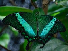 Emerald swallowtail (Papilio palinurus) (Robert-Ang) Tags: butterfly insect emeraldpeacock emeraldswallowtail greenbandedpeacock singapore nature