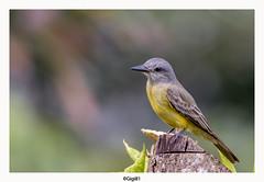 Tyran mélancolique (gilbert.calatayud) Tags: oiseau bird tyran mélancolique tyrannus mélancholicus tropical kingbird tyrannidés passériformes costarica manuel antonio amérique centrale