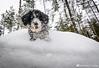 Maya (Ari Kalliala) Tags: talvi winter koira dog nikon d7100 atx1120f28prodx spanishwaterdog espanjanvesikoira perro spanskvattenhund perrodeaguaespañol pdae swd