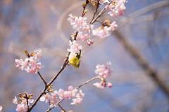 _DSC0808.jpg (plasticskin2001) Tags: mejiro sakura flower bird
