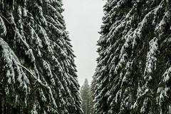 High Fens 09 (L I C H T B I L D E R) Tags: belgium winter tree trees stamm trunk belgien baraque michel hohesvenn highfens eupen malmedy hautesfagnes wood forest snow wald holz baum schnee landschaft baraquemichel bedeckt park himmel