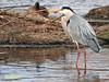 Garza real (Ardea cinerea) (25) (eb3alfmiguel) Tags: aves zancudas ciconiiformes ardeidae garza real ardea cinerea