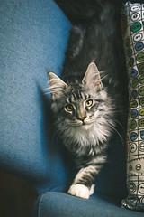 Nesquick says hello! (Kimoufli) Tags: mainecoon mainecooncat maincoon crazycatlady chatderace chatgéant chaton chat cat gato gatto katz animal félin kitty kitten cute nikon lightroom d5300 blacksilver