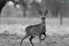 Reh (danielkai.meyer) Tags: d500 deutschland europa februar leest potsdam reh rehwild säugetiere brandenburg natur wildlife tiere nikon