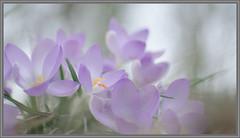 crocus (Erik v Hassel) Tags: crocus velvet bulb closeup haps erikhaps nikon d5100 nederland holland dutch beautiful fraai excellent flickr view splendid beauty best wonderful fantastic awesome stunning incredible magic nice perfect photo image shot foto lovely ngc macro flower close up