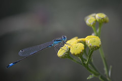 Libellule (Michel Couprie) Tags: nature insect insecte libellule damselfly damsel macro flower animal composition dof bokeh canon eos 7d ef10028lmacro couprie europe france essonne brétignysurorge
