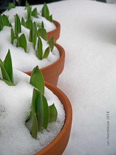 2018 03 04 - tulips in snow