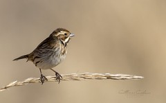 Reed Bunting... (Catherine Cochrane) Tags: bird wildbirds nature wildlife sigma150600 outdoors beautiful bokeh birds ayrshire uk