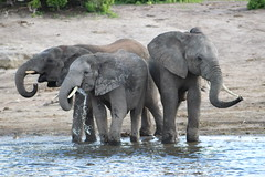 IMG_2664 (thesilvercollection) Tags: chobe river cruise kasane december botswana wildlife road trip elephant water animal nature tusk young herd elephants drinking three trio drops trunk travel