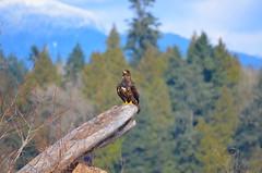 Distant Eagle (Neal D) Tags: bc richmond ionabeachregionalpark bird eagle baldeagle haliaeetusleucocephalus juvenile