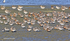 Red Knots and Bar-tailed Godwits in Breeding Colours ready to fly to Siberia from NZ (rebecca bowater nature photographer) Tags: godwits knots