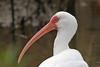 White Ibis (Alan Gutsell) Tags: bird birding alan wildlife nature photo texasbirds texas southtexasbirds statepark white ibis whiteibis wader