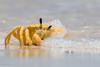 Golden Ghost Crab (Ocypode convexa) (BenParkhurst) Tags: coralcoast sand outback bubbles exoskeleton benparkhurst claw carapace splash goldenghostcrab eyestalks intertidal animal sea saltwater gnaraloostation westernaustralia wa coast wild water crab 2017 ocean ocypodeconvexa fauna yellow australia invertebrate