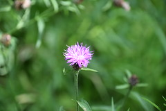 Knapweed (Worthing Wanderer) Tags: norfolk summer sunny cloudy water boats farmland august bure broads pathfinderguides path
