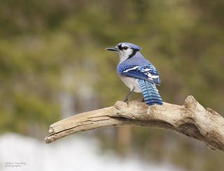Gaie bleu - Blue jay