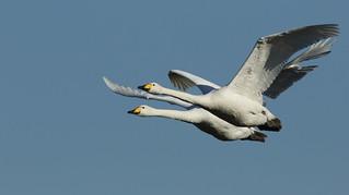 Whooper Swan (Cygnus cygnus) .