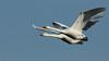 Whooper Swan (Cygnus cygnus) . (Sandra Standbridge.) Tags: whooperswans swans wintervisitors bluesky flying inflight wildandfree wild wildlife nature bird animal cygnuscygnus