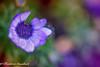 Morning Colors (frederic.gombert) Tags: color colors light sun sunlight flower daisy flowers garden plant spring macro nikon