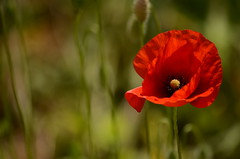 Coquelicot - poppy (Val'images71) Tags: coquelicot champs rouge fleur flore poppy red flower field