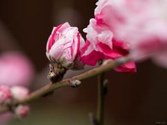 Peppermint Peach Blossoms (Phet Live) Tags: phet live panasonic dmcgx8 olympus m60mm f28