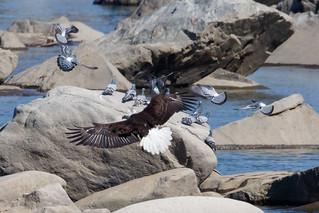 Bald Eagle at Conowingo Dam-10