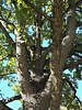 Lisle, IL, Morton Arboretum, Oak Tree (Mary Warren 10.1+ Million Views) Tags: lisleil mortonarboretum nature flora garden park plants green leaves foliage bark tree oak