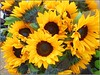Helianthus .. (** Janets Photos **) Tags: uk flowers plants flora sunflowers yellow