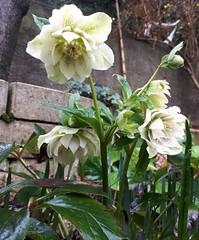 Hellebore (dadoobe) Tags: mygarden flowers white hellebore helleborus