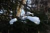 Lumi kuuseokstel (Jaan Keinaste) Tags: pentax k3 pentaxk3 eesti estonia loodus nature lumi snow kuusk spruce