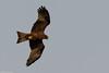 CHU_9177 (Yellow Bill Kite) (CE Blueclouds) Tags: lagos nigeria ng