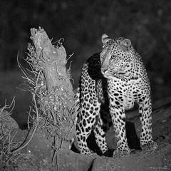 IMGP9196 Leopard after sunset (Claudio e Lucia Images around the world) Tags: leopard leopardo mashatu mashatugr tuli tuliblock botswana africa cat bigcat bw blackandwhite pentax pentaxk30 pentax60250 nidìghtshot