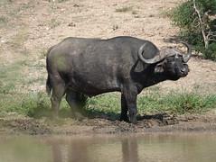 African Buffalo (jdf_92) Tags: southafrica safari africanbuffalo synceruscaffer african buffalo limpopo limpopoprovince africa mammal