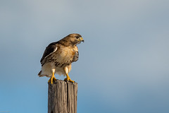 Red-tailed Hawk (mathurinmalby) Tags: bird buteojamaicensis hawk plumisland redtailedhawk