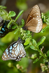 Blue Tiger & Common Mime Butterflies P1250967 (Phil @ Delfryn Design) Tags: india2018 butterflies