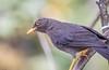 Great Thrush (Turdus fuscater) (NigelJE) Tags: quito pichincha ecuador ec greatthrush thrush turdusfuscater turdus truethrush turdidae nigelje sanjorgeecolodges