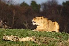 Ooooh that sun is lovely (joannekerry) Tags: lioness africanlion lion yorkshirewildlifepark wildlife canon nature bigcats cats