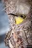 Olive-backed sunbird (Dreamtime Nature Photography) Tags: sunbird olivebackedsunbird cinnyrisjugularis bowen queensland qld australia australie oiseau aves bird animal wildlife nest canon canon7dm2 7dmii