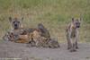 What Mom's do best.... (Explore 14 March 2018) (Duncan Blackburn) Tags: 2018 kenya masaimara mammal spottedhyena nikon nature wildlife