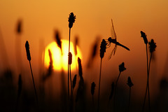Sunset (Dragan*) Tags: dragonfly insect odonata animal grass plant sunset sunlight silhouette outdoor flower macro
