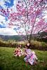 Cherry Blossoms  武陵農場/粉紅佳人 (Jennifer 真泥佛) Tags: 武陵農場 粉紅佳人