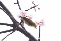 _3188187.jpg (plasticskin2001) Tags: mejiro sakura bird flower