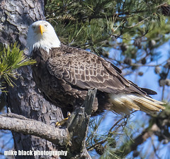072fff (Mike Black photography) Tags: bald eagle bird birding big year nature watching canon dslr 5dsr body 800mm usm is l lens nj new jersey shore trees nest nesting pair wildlife sky blue white black mike