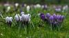 Purper, fijntjes en breed (nikjanssen) Tags: purper purple crocus spring lente krokus flowers dof