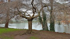 """Higan Cherry"" Winter. (standhisround) Tags: higancherry trees tree htmt treemendoustuesday kewgardens royalbotanicalgardens kew rbg london uk lake pond water winter pendularubra prunussubhirtella park gardens garden"