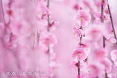 しだれ梅_K1_13669 (m.hamajima) Tags: pentax k1 梅 うめ plumblossoms しだれ梅 鈴鹿の森庭園 三重県 miejapan flower pink