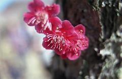 omiya75nc-film (yaplan) Tags: film contaxax flower japan memory