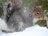 Please feed me! (macfudge1UK) Tags: ©allrightsreserved 2018 bbcspringwatch branch britain coolpix coolpixp610 england fauna gb greatbritain greysquirrel ice mammal nature nikon nikoncoolpixp610 oxfordshire oxon p610 rodent sciuruscarolinensis snow spring squirrel treerat uk vermin wildlife goldwildlife