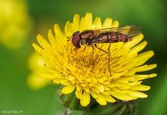 Cernidora (David Hdez. ) Tags: invertebrados insectos macro naturaleza canarias grancanaria islascanarias canaryisland